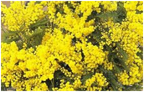 mimose-2